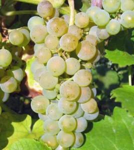 winorosl-solaris-sadzonki-winogrona-mrozo-odporne-4143227876