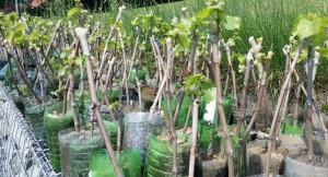 kwitnący Seyval Blanc