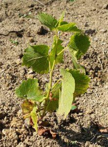 sadzonka zasadzona