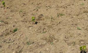 sadzonki zasadzone